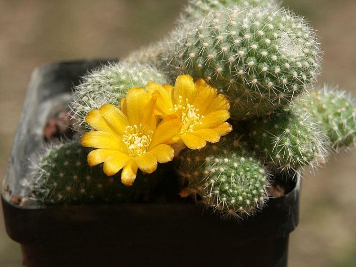 Flraisons du jour RebutiaFabrisiiv.aureiflora