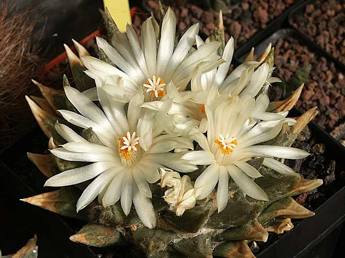 les Ariocarpus fleurissent Ario_trigonus